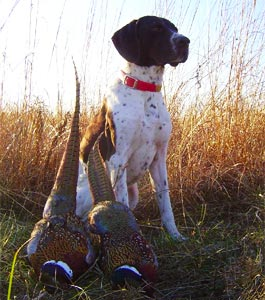 Dog Hunting Pheasants